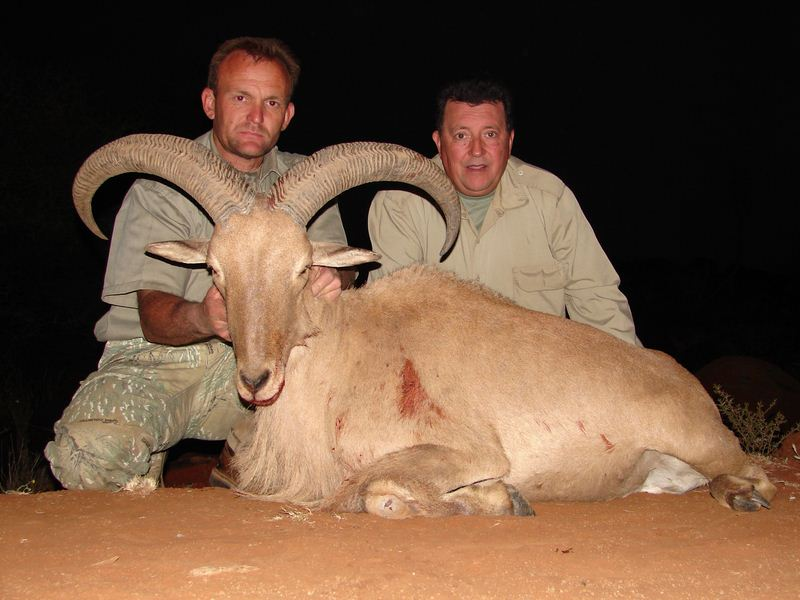 barbary_sheep_06